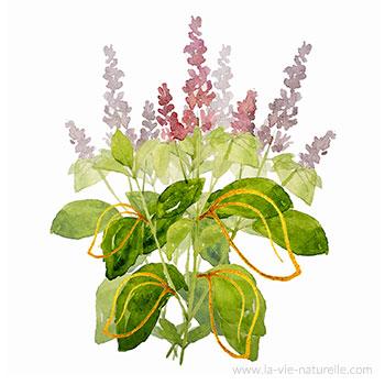 Basilic Tropical