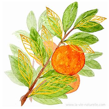 Oranger Bigaradier