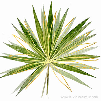 Palmier de Floride
