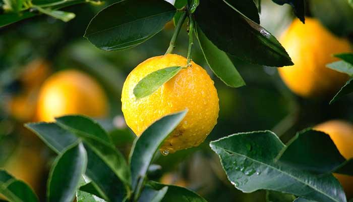 Tous les bienfaits du citron