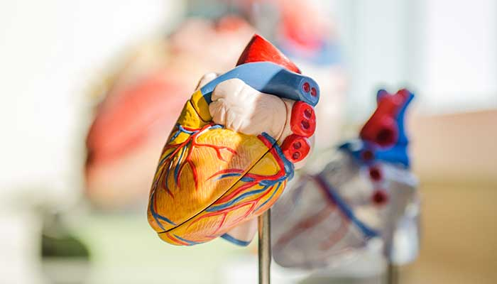 Comment fonctionne le cœur ?