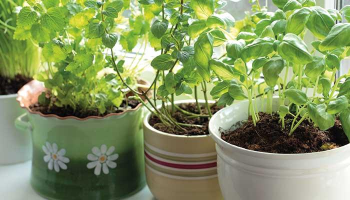 Les meilleures plantes anti-moustiques